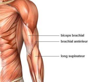 anatomie des muscles du bras