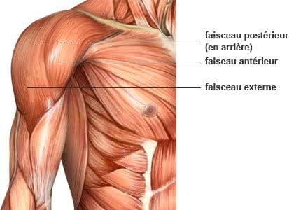 anatomie de l'épaule pour la musculation