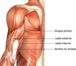anatomie du triceps